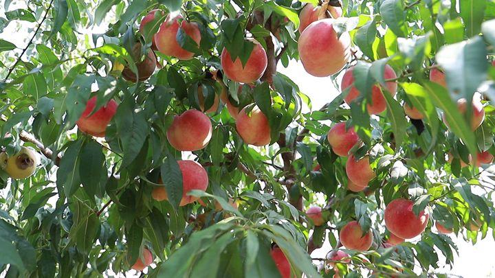 第380期 金秋蜜桃喜豐收