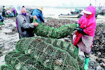 海蛎子育肥忙春节就能上市