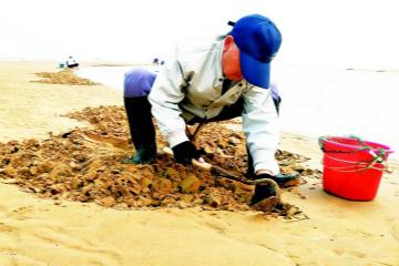 老有所乐挖蛤蜊