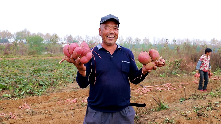 第390期 金秋蜜薯喜豐收