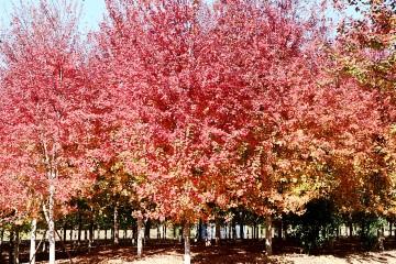 火红枫叶林盛开西海岸