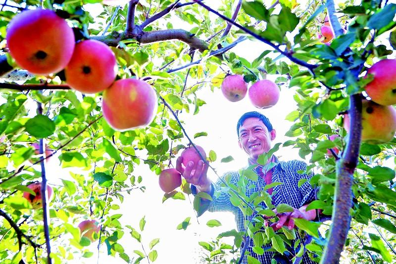 苹果喜丰收村民笑开颜