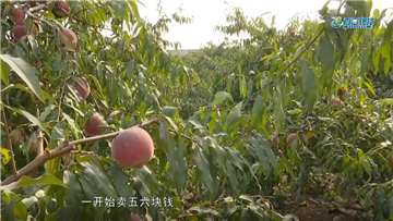 第402期 鲜桃丰产遇滞销 种植户愁云满目