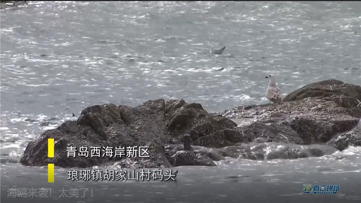 第410期 海鷗來襲!太美了!