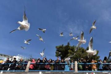 精灵可爱!最近你去栈桥看海鸥了吗?