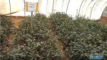 """第425期 海青""""北茶36""""茶树新品种获国家品种登记"""