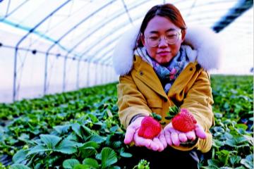 """""""草莓村""""的致富经"""