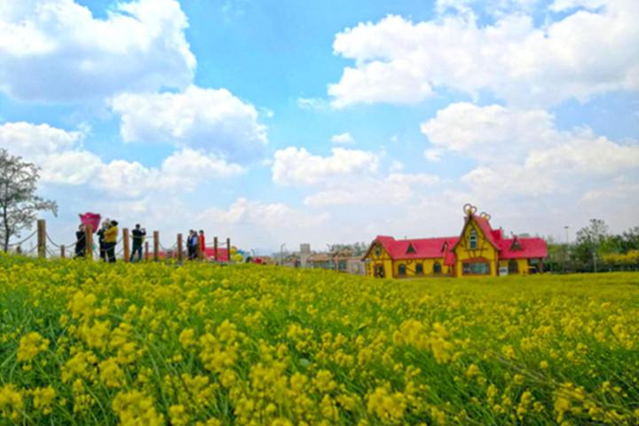 春暖油菜花开!影视旅程带您走进青岛西海岸生态观光园