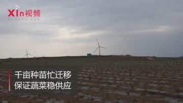 xin视频 | 千亩种苗忙迁移,保证蔬菜稳供应