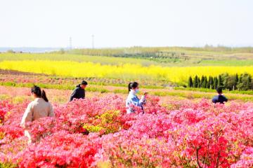 """琅琊镇:300亩""""天山之火""""映山红竞相绽放"""