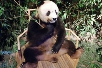 青岛首只大熊猫标本落户西海岸新区