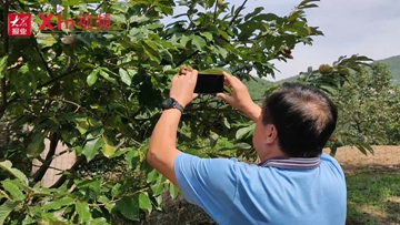 Xin视频|逛吃六汪:千亩板栗成熟 赏景采摘两不误
