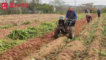 Xin视频|合作社地瓜喜获丰收,亩产可达6000斤