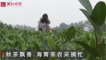 Xin视频|秋茶飘香,海青茶农采摘忙