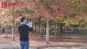 Xin视频|张家楼街道千亩红枫林进入最佳观赏期