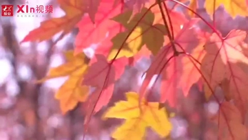 Xin视频|千亩红枫林成为最惊艳赏秋胜地