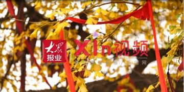 "Xin视频丨816岁银杏树身披""黄金甲"""