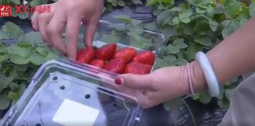 "Xin视频|草莓抢""鲜""上市, ""甜蜜""产业助农增收"