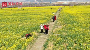 Xin視頻|來西海岸,看油菜花遍地金黃