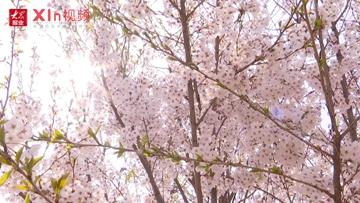 Xin視頻|櫻花爛漫美如仙境
