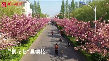 "Xin视频|""樱花巷""里樱花香"