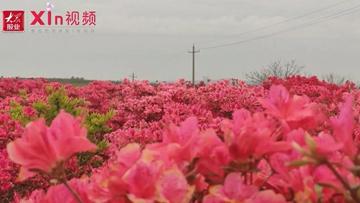 Xin视频|花红似火,琅琊镇这里已是一片花海