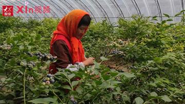 Xin視頻|晚熟藍莓大量上市,定向銷售供不應求