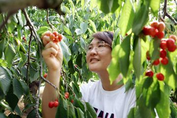 樱桃滞销 公益助农