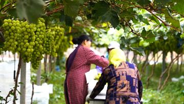 Xin视频|实现葡萄富民,建设美好家乡
