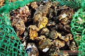 不到俩小时捡十几斤!新区这个地方海蛎子扎堆!