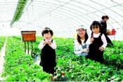 西海岸新区:一颗小草莓带富12个村